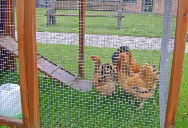 Høns i hus1-maj15